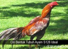 Ciri Bentuk Tubuh Ayam S128 Ideal