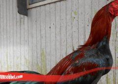 Panduan Cara Ketaui Ayam Bangkok Pilihan
