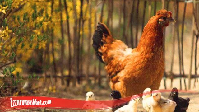 Panduan Mengenali Sifat Dan Habitat Ayam