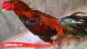 Panduan Mudah Tumbuhkan Bulu Ayam SV388