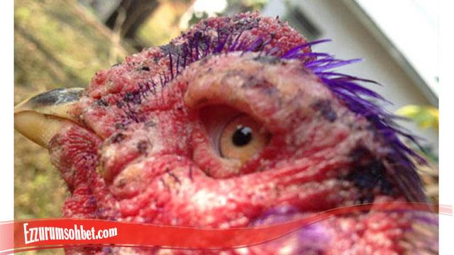 Panduan Mudah sembuhkan mata Ayam S128