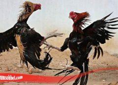 Panduan Untuk Tingkatkan Mental Ayam Tarung S128