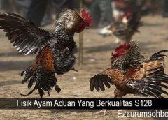 Fisik Ayam Aduan Yang Berkualitas S128