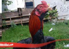 Kualitas Dari Ayam Bangkok brewok S128