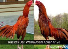 Kualitas Dari Warna Ayam Aduan S128