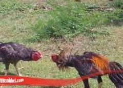 Panduan Lebih Mengenali Jurus Bongkar Dari Ayam Bangkok