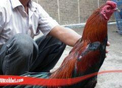 Panduan Untuk Ternak Ayam Bangkok Pilihan